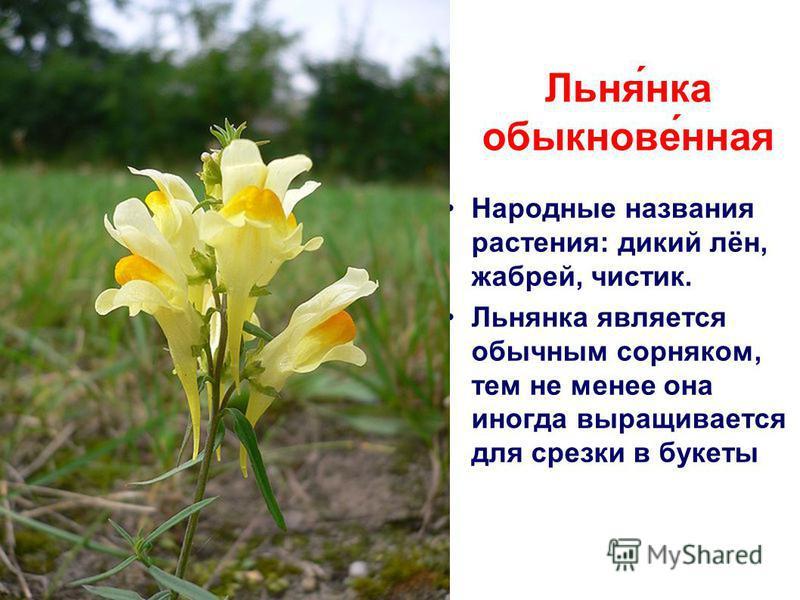 Народные названия растения: дикий лён, жабрей, чистик. Льнянка является обычным сорняком, тем не менее она иногда выращивается для срезки в букеты