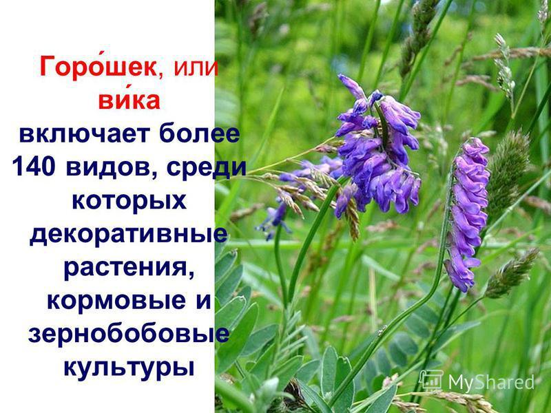Горо́шок, или ви́ка включает более 140 видов, среди которых декоративные растения, кормовые и зернобобовые культуры