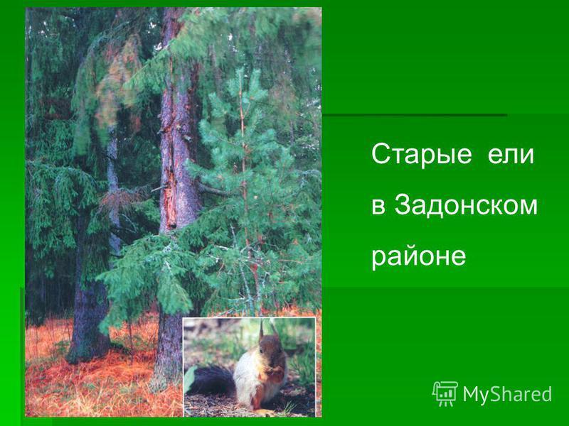 Старые ели в Задонском районе