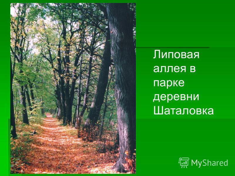 Липовая аллея в парке деревни Шаталовка