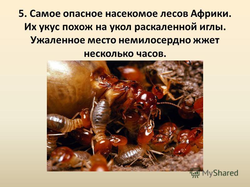 5. Самое опасное насекомое лесов Африки. Их укус похож на укол раскаленной иглы. Ужаленное место немилосердно жжет несколько часов.