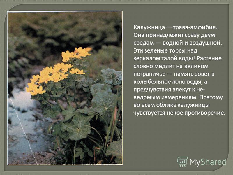 Калужница трава-амфибия. Она принадлежит сразу двум средам водной и воздушной. Эти зеленые торсы над зеркалом талой воды! Растение словно медлит на великом пограничье память зовет в колыбельное лоно воды, а предчувствия влекут к не ведомым измерен