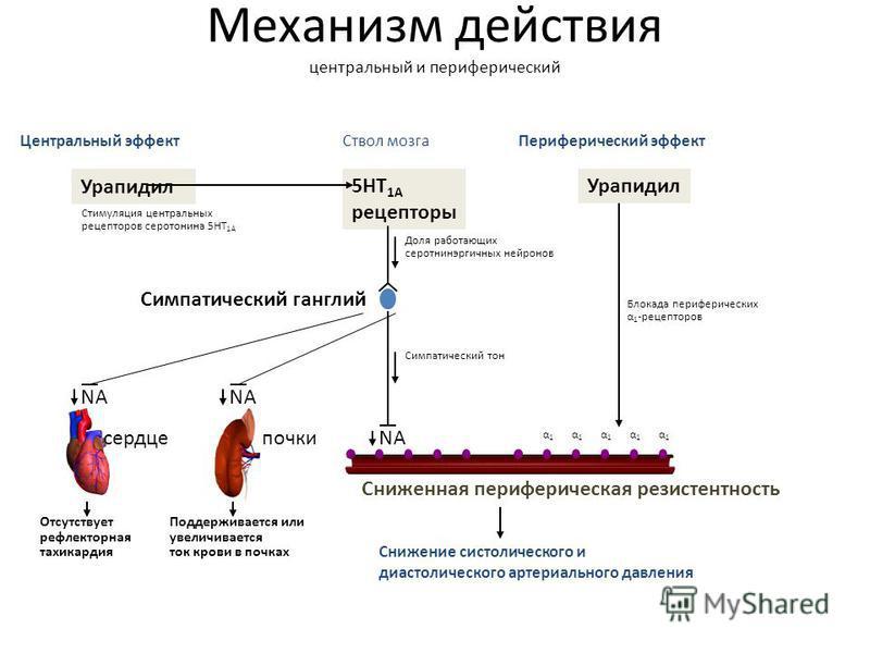 Механизм действия центральный и периферический Центральный эффект Периферический эффект Урапидил Ствол мозга 5HT 1A рецепторы Снижение систолического и диастолического артериального давления Симпатический ганглий Урапидил Стимуляция центральных рецеп