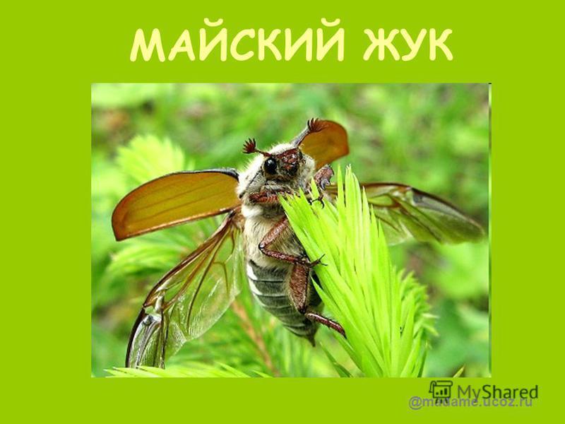 МАЙСКИЙ ЖУК @madame.ucoz.ru