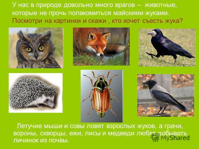 У нас в природе довольно много врагов – животные, которые не прочь полакомиться майскими жуками. Посмотри на картинки и скажи, кто хочет съесть жука? Летучие мыши и совы ловят взрослых жуков, а грачи, вороны, скворцы, ежи, лисы и медведи любят добыва