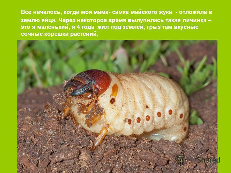 Все началось, когда моя мама- самка майского жука - отложила в землю яйца. Через некоторое время вылупилась такая личинка – это я маленький, я 4 года жил под землей, грыз там вкусные сочные корешки растений.