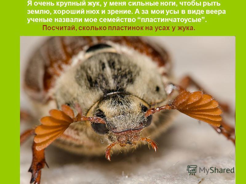 Я очень крупный жук, у меня сильные ноги, чтобы рыть землю, хороший нюх и зрение. А за мои усы в виде веера ученые назвали мое семейство пластинчатоусые. Посчитай, сколько пластинок на усах у жука.