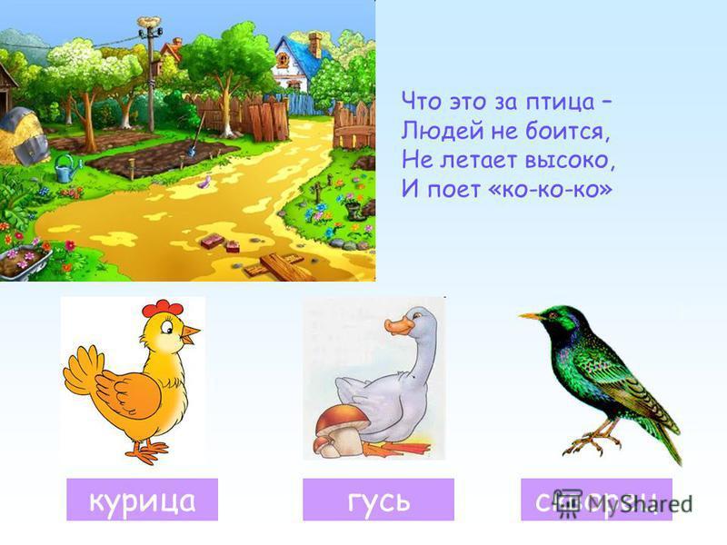 Что это за птица – Людей не боится, Не летает высоко, И поет «ко-ко-ко» гусь курица скворец