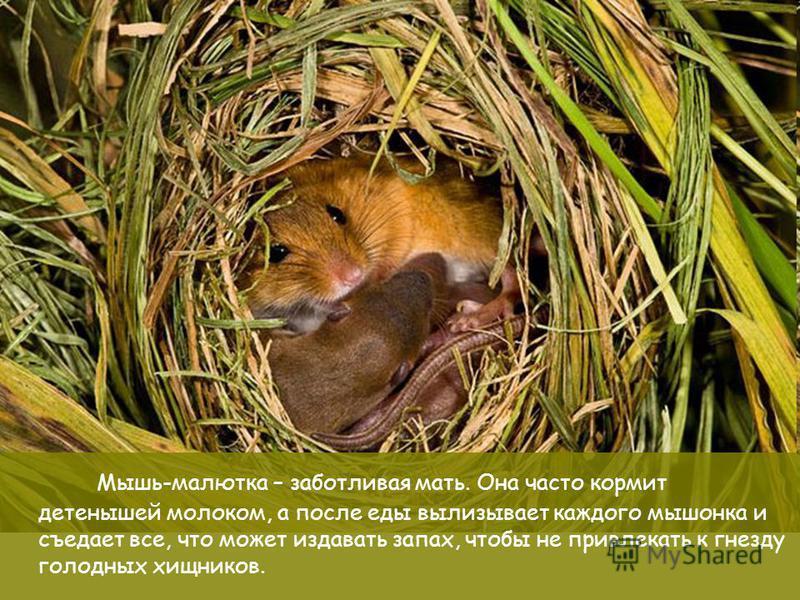 Материнские заботы Мышь-малютка – заботливая мать. Она часто кормит детенышей молоком, а после еды вылизывает каждого мышонка и съедает все, что может издавать запах, чтобы не привлекать к гнезду голодных хищников.