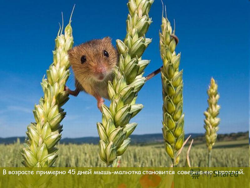 В возрасте примерно 45 дней мышь-малютка становится совершенно взрослой.