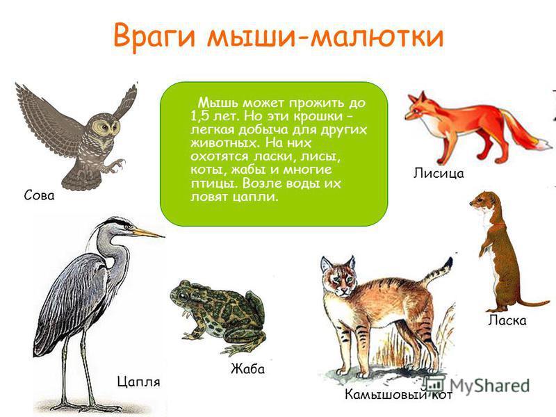 Враги мыши-малютки Мышь может прожить до 1,5 лет. Но эти крошки – легкая добыча для других животных. На них охотятся ласки, лисы, коты, жабы и многие птицы. Возле воды их ловят цапли. Сова Цапля Жаба Камышовый кот Ласка Лисица