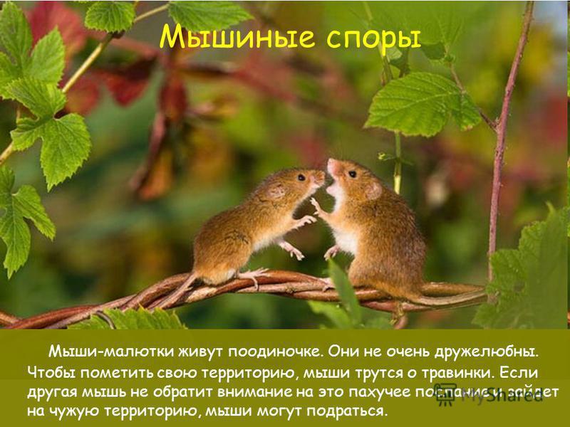 Мышиные споры Мыши-малютки живут поодиночке. Они не очень дружелюбны. Чтобы пометить свою территорию, мыши трутся о травинки. Если другая мышь не обратит внимание на это пахучее послание и зайдет на чужую территорию, мыши могут подраться.