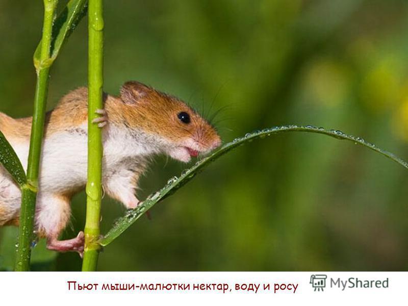 Пьют мыши-малютки нектар, воду и росу
