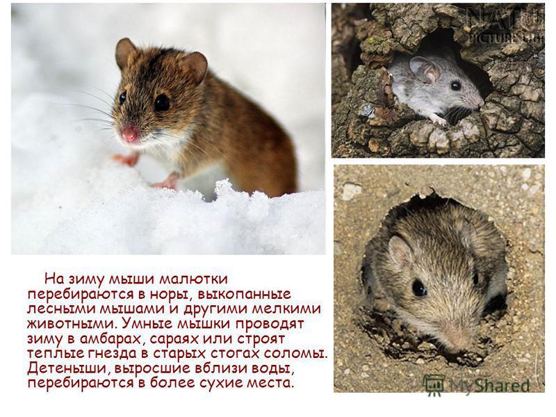 На зиму мыши малютки перебираются в норы, выкопанные лесными мышами и другими мелкими животными. Умные мышки проводят зиму в амбарах, сараях или строят теплые гнезда в старых стогах соломы. Детеныши, выросшие вблизи воды, перебираются в более сухие м