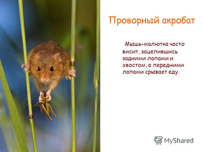 Мышь-малютка часто висит, зацепившись задними лапами и хвостом, а передними лапами срывает еду. Проворный акробат
