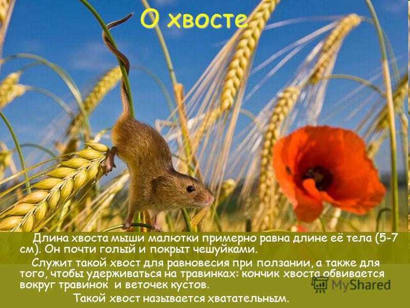 О хвосте Длина хвоста мыши малютки примерно равна длине её тела (5-7 см). Он почти голый и покрыт чешуйками. Служит такой хвост для равновесия при ползании, а также для того, чтобы удерживаться на травинках: кончик хвоста обвивается вокруг травинок и