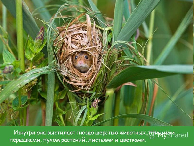 Изнутри она выстилает гнездо шерстью животных, птичьими перышками, пухом растений, листьями и цветками.