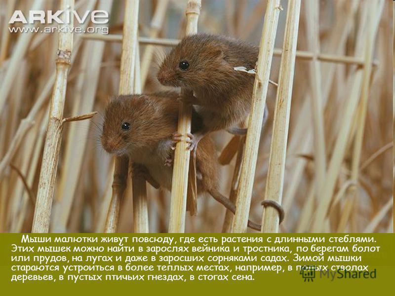 Мыши малютки живут повсюду, где есть растения с длинными стеблями. Этих мышек можно найти в зарослях вейника и тростника, по берегам болот или прудов, на лугах и даже в заросших сорняками садах. Зимой мышки стараются устроиться в более теплых местах,