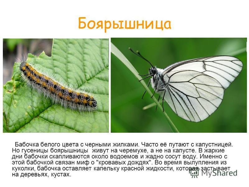 Боярышница Бабочка белого цвета с черными жилками. Часто её путают с капустницей. Но гусеницы боярышницы живут на черемухе, а не на капусте. В жаркие дни бабочки скапливаются около водоемов и жадно сосут воду. Именно с этой бабочкой связан миф о