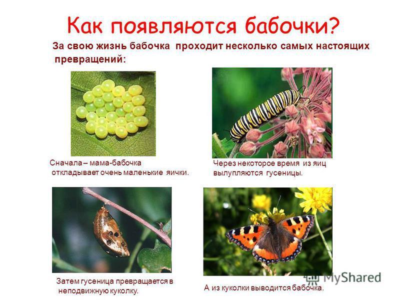 Как появляются бабочки? За свою жизнь бабочка проходит несколько самых настоящих превращений: Сначала – мама-бабочка откладывает очень маленькие яички. Через некоторое время из яиц вылупляются гусеницы. Затем гусеница превращается в неподвижную кукол