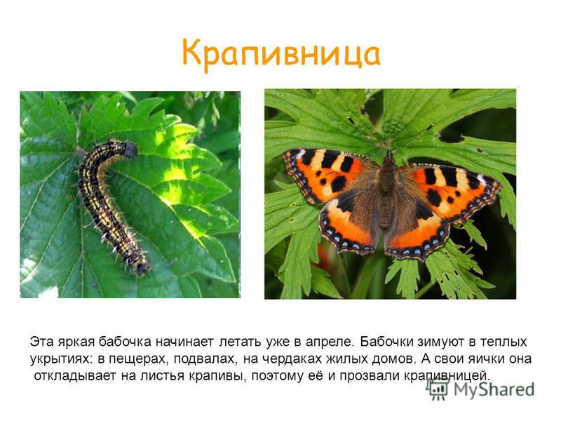 Крапивница Эта яркая бабочка начинает летать уже в апреле. Бабочки зимуют в теплых укрытиях: в пещерах, подвалах, на чердаках жилых домов. А свои яички она откладывает на листья крапивы, поэтому её и прозвали крапивницей.