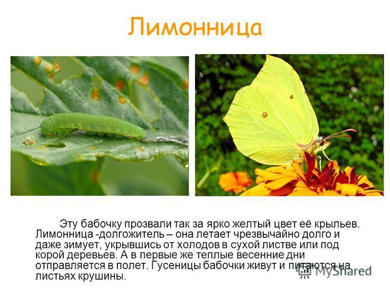Лимонница Эту бабочку прозвали так за ярко желтый цвет её крыльев. Лимонница -долгожитель – она летает чрезвычайно долго и даже зимует, укрывшись от холодов в сухой листве или под корой деревьев. А в первые же теплые весенние дни отправляется в полет