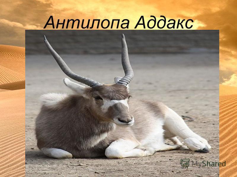 Антилопа Аддакс