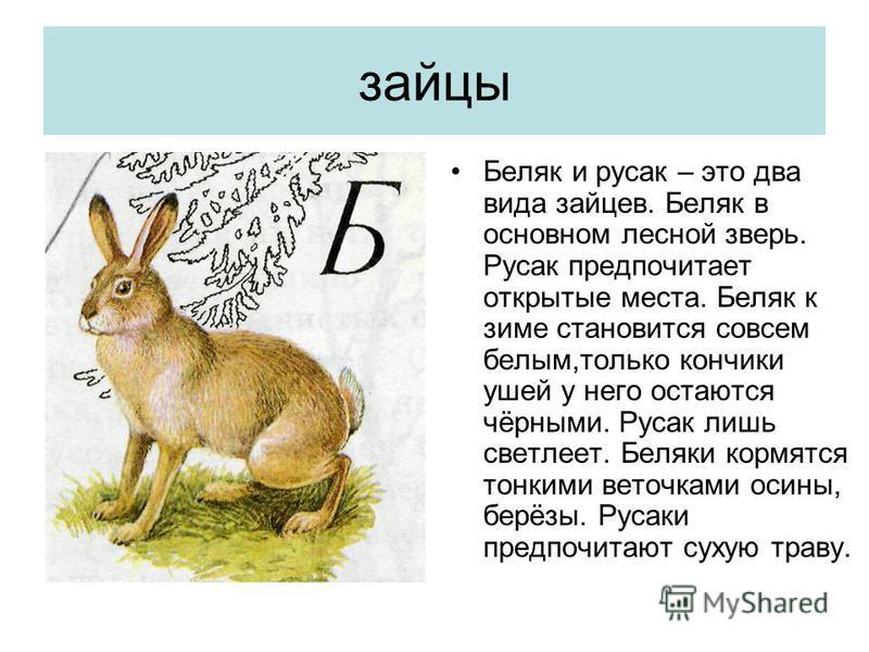зайцы Беляк и русак – это два вида зайцев. Беляк в основном лесной зверь. Русак предпочитает открытые места. Беляк к зиме становится совсем белым,только кончики ушей у него остаются чёрными. Русак лишь светлеет. Беляки кормятся тонкими веточками осин