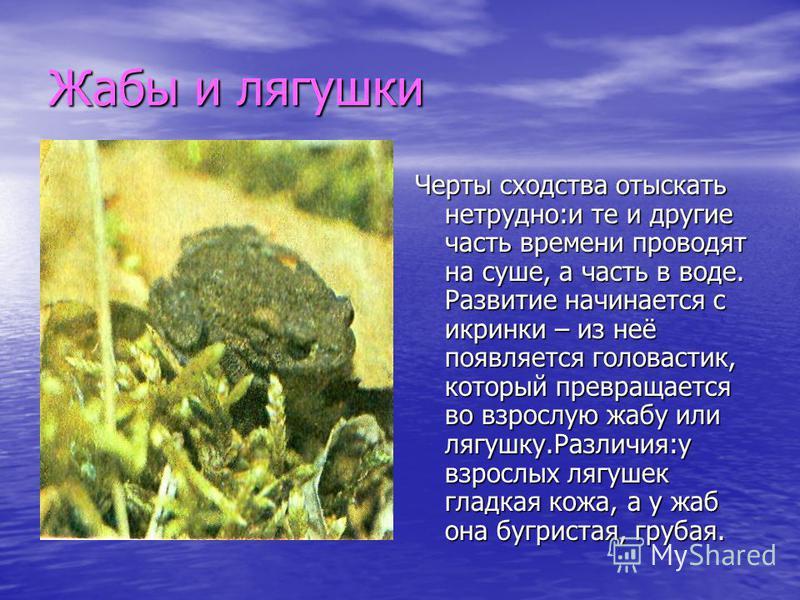 Жабы и лягушки Черты сходства отыскать нетрудно:и те и другие часть времени проводят на суше, а часть в воде. Развитие начинается с икринки – из неё появляется головастик, который превращается во взрослую жабу или лягушку.Различия:у взрослых лягушек