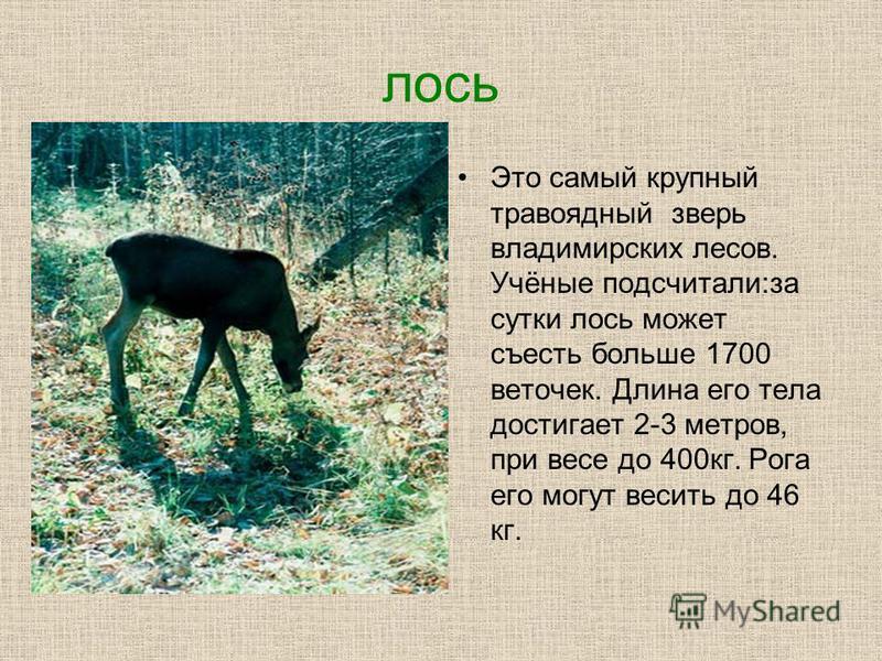 лось Это самый крупный травоядный зверь владимирских лесов. Учёные подсчитали:за сутки лось может съесть больше 1700 веточек. Длина его тела достигает 2-3 метров, при весе до 400 кг. Рога его могут весить до 46 кг.