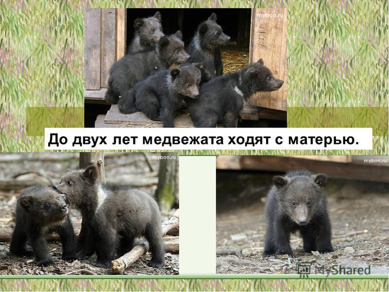 До двух лет медвежата ходят с матерью.
