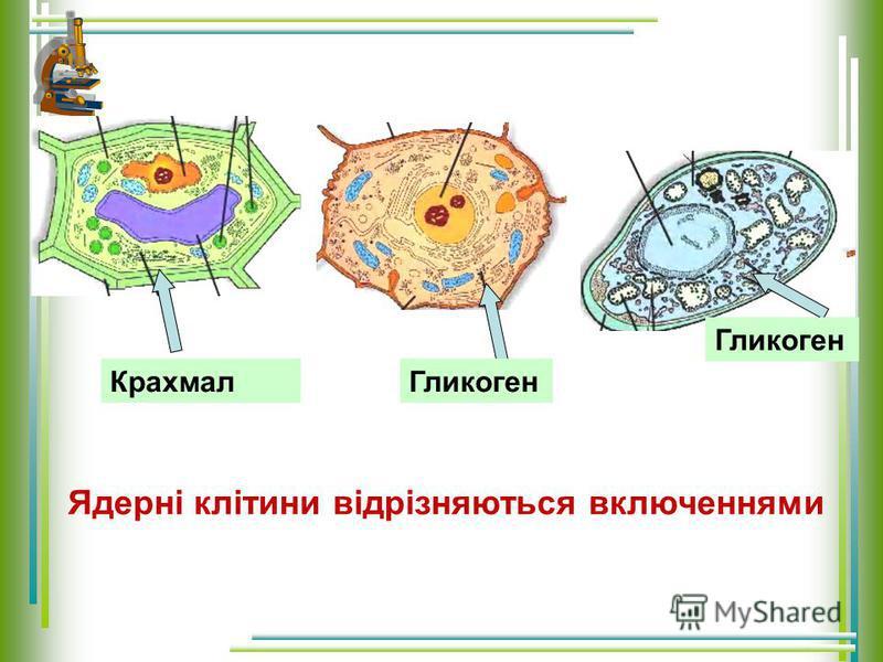 Ядерні клітини відрізняються включеннями КрахмалГликоген