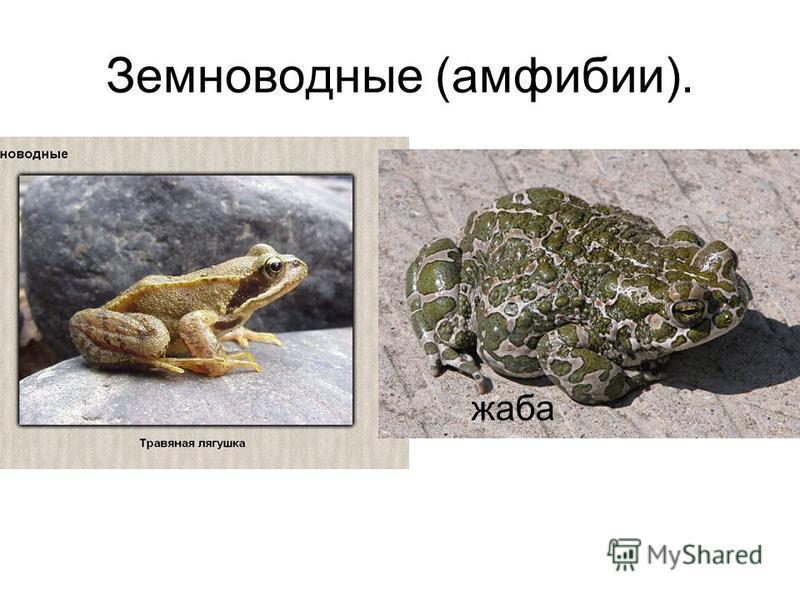 Земноводные (амфибии). жаба