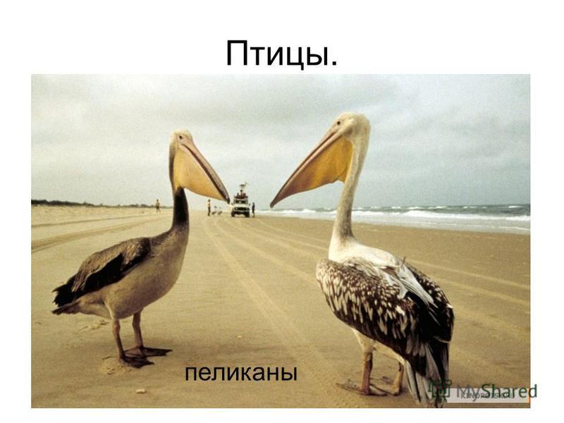 Птицы. пеликаны