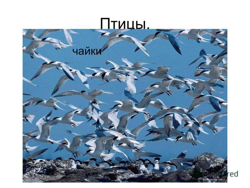 Птицы. чайки