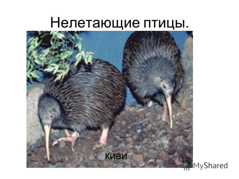 Нелетающие птицы. киви