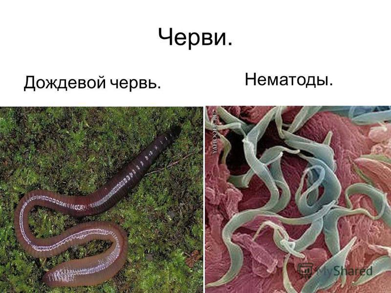 Черви. Нематоды. Дождевой червь.