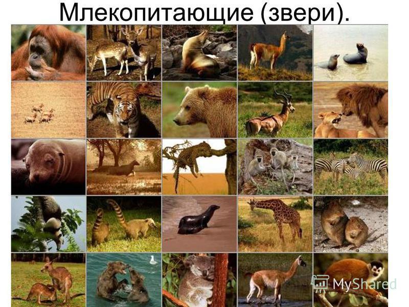 Млекопитающие (звери).