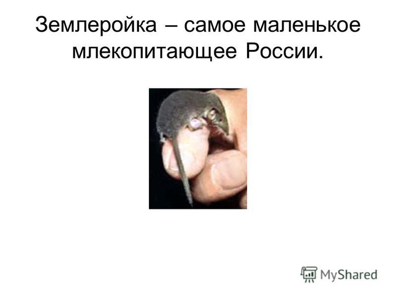 Землеройка – самое маленькое млекопитающее России.