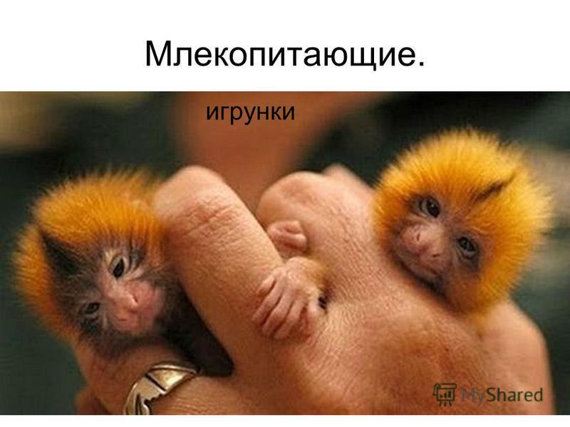 Млекопитающие. игрунки