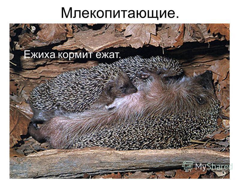 Млекопитающие. Ежиха кормит ежат.