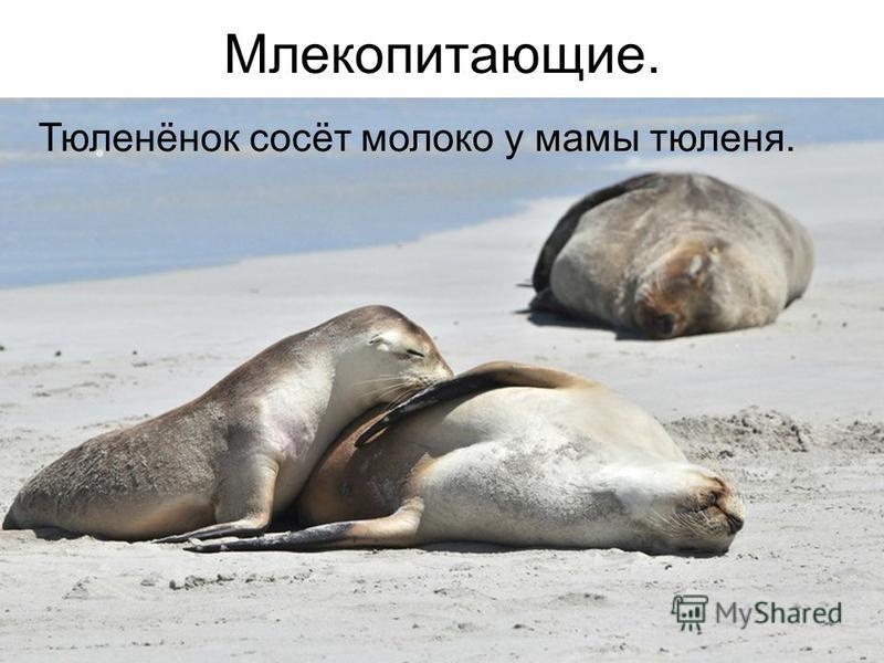 Млекопитающие. Тюленёнок сосёт молоко у мамы тюленя.