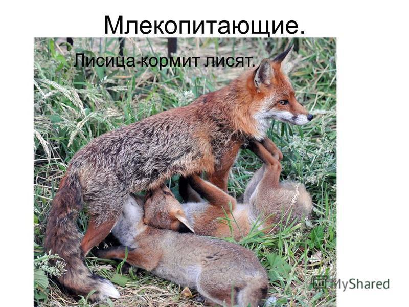 Млекопитающие. Лисица кормит лисят.