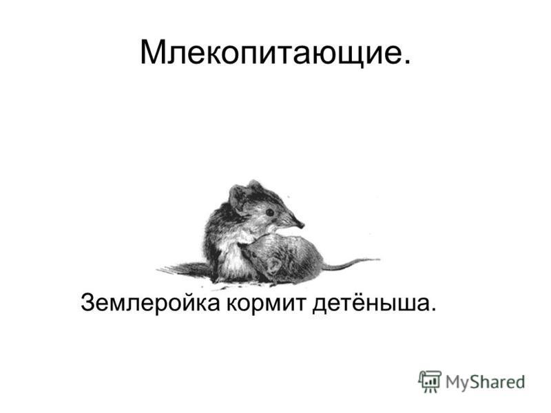 Млекопитающие. Землеройка кормит детёныша.