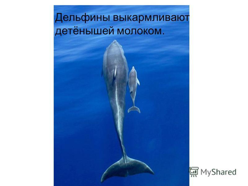 Дельфины выкармливают детёнышей молоком.