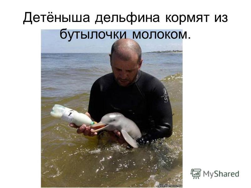 Детёныша дельфина кормят из бутылочки молоком.