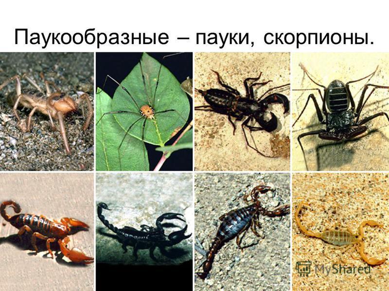 Паукообразные – пауки, скорпионы.
