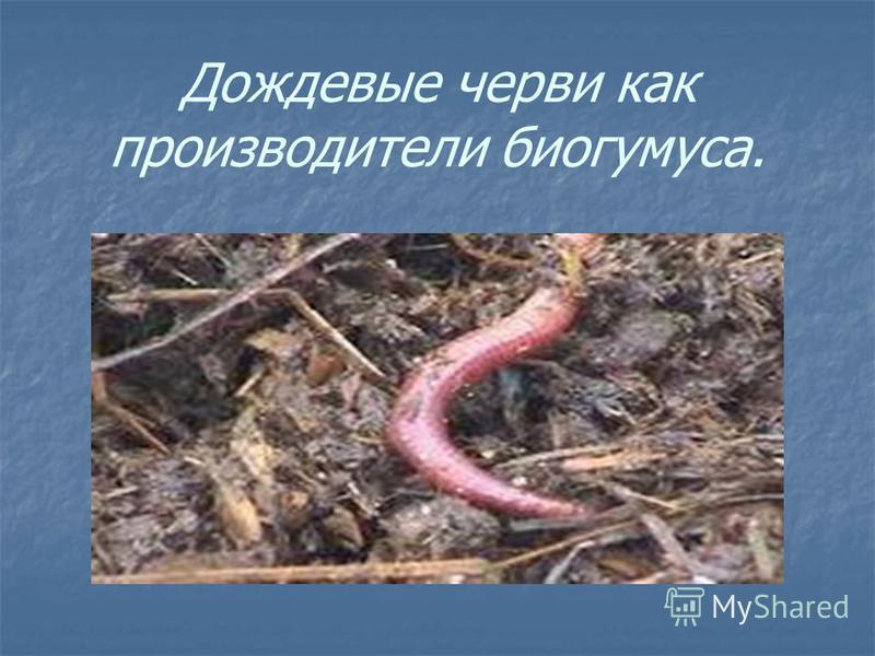Дождевые черви как производители биогумуса.