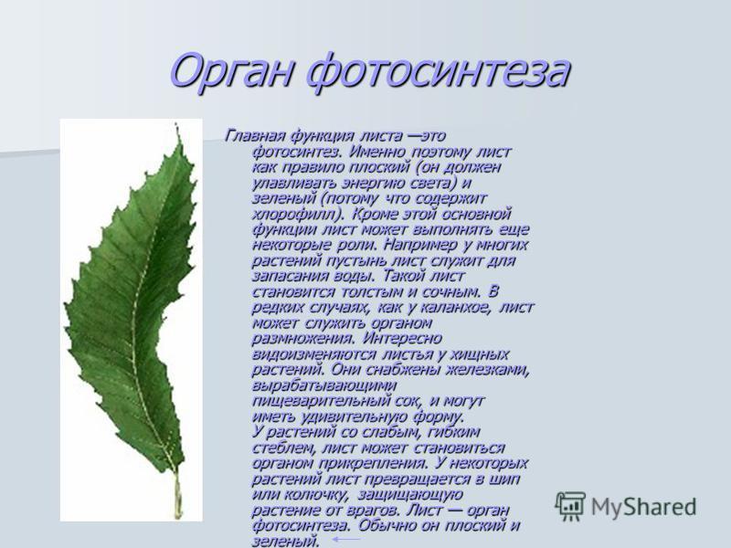 Орган фотосинтеза Главная функция листа это фотосинтез. Именно поэтому лист как правило плоский (он должен улавливать энергию света) и зеленый (потому что содержит хлорофилл). Кроме этой основной функции лист может выполнять еще некоторые роли. Напри