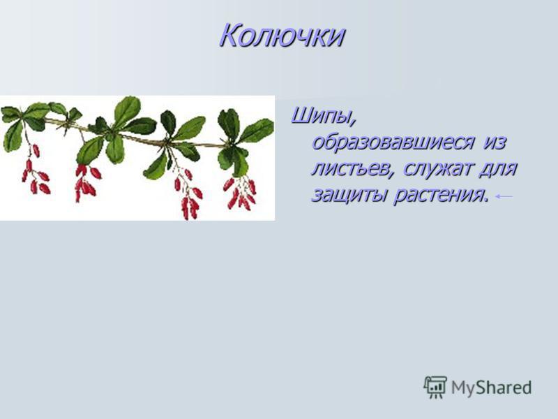 Колючки Шипы, образовавшиеся из листьев, служат для защиты растения.